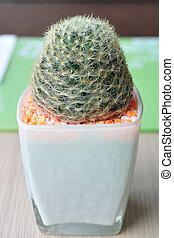 Close-up small Cereus hexagonus Mill on table