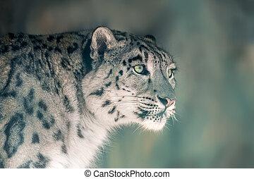 Close up snow leopard portrait