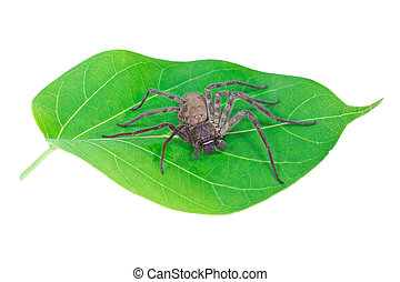 close-up spider on green leaf with white background