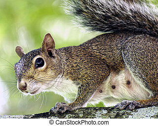 Close up Squirrel on Tree Branch