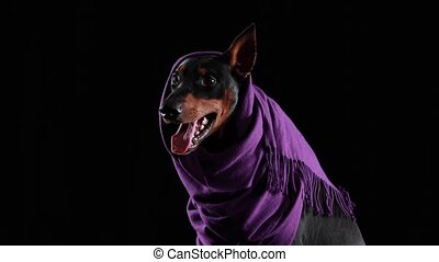 Close up studio portrait of a cheerful doberman pinscher in a lilac scarf with one ear sticking out from under it. The dog yawns widely, sticking out its pink tongue. Isolated on black background