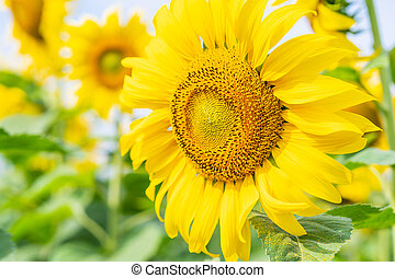 Close up Sun flowers