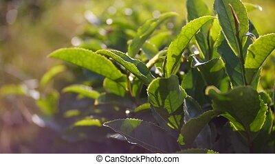 close-up, tea leaves. A beautiful mountain landscape of...