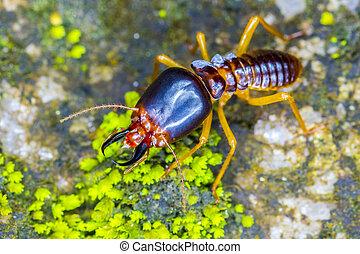 Close up termites soldier