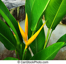 Close up the Beautiful Golden Torch Heliconia Flower with green leaf