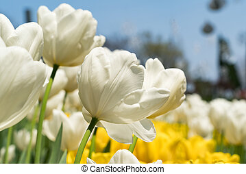 close up the beautiful pure white tulips