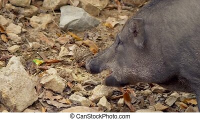 close-up. The black boar in search of something to eat...