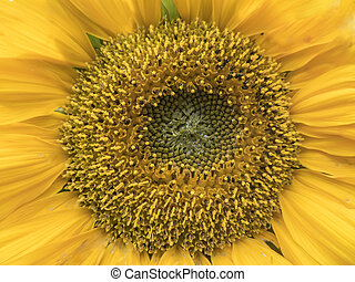 Close up the centre of a sunflower