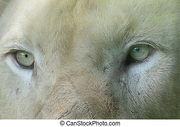 Close up the eyes of white lion in Thailand.