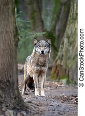 Close up timber wolf in forest