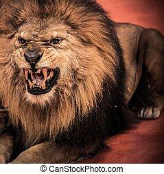close-up, tiro, de, deslumbrante, rugindo, leão, em, circo,...
