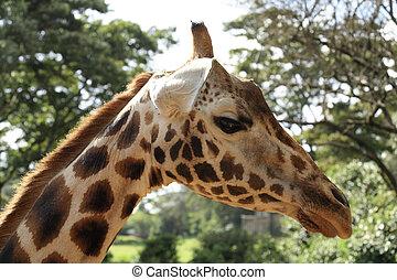 Close up to a Giraffe