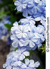 close up to Blue Jasmin flower