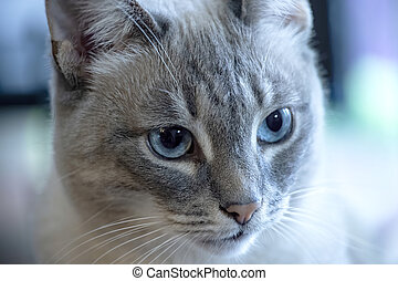 Close up to Siamese cat with blue eyes