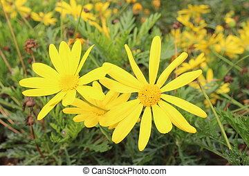 Stinking willie - Close-up to yellow flower Stinking willie