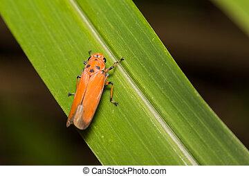 close-up treehopper or spittlebug on green leaf