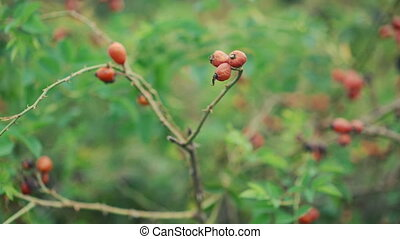 Close up twigs of dog-berries in 4K