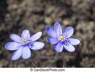close up two blooming blue liverwort or kidneywort flower Anemone hepatica or Hepatica nobilis on dirt background, selective focus, spring floral backdrop