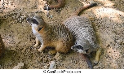 Close up two meerkats looking up alerted - Close up group of...