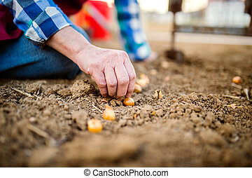 Close up, unrecognizable senior woman planting onions in row...