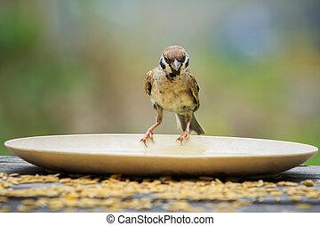 close up urasian tree sparrow bird and paddy feeding dish