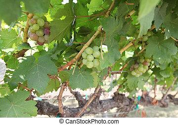 close-up, uvas, luz solar, penduradas