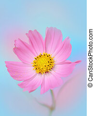 close-up, van, cosmos bloem