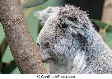 close-up, van, een, koala