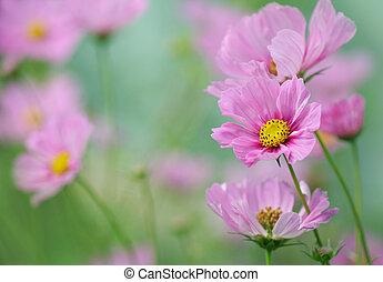 close-up, van, roze, cosmos bloem