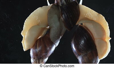 Close up Video of three snails on black background - Video...