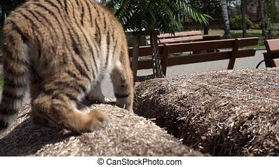 Close up video of tiger baby playing, walking, jumping and...