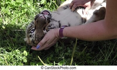 Close up video of woman hands playing with a tiger baby in...