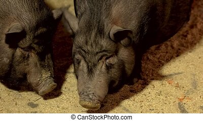 Close up vietnamese pigs on the farm. Black pigs on the ...