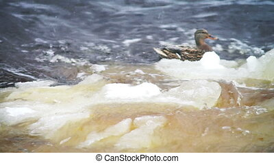 Close-up view at drifting ice in river and ducks