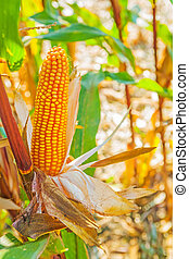 close up view ear of corn on plant and blurred background
