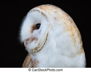 Close up view of a barn owl - Close up of a barn owl or tyto...