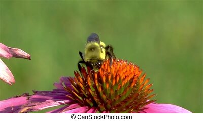 Close-up view of a bee on an Echinacea Purpurea flower.