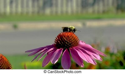 Pollination: close-up, detailed view of a bee on a Echinacea Purpurea flower, purple coneflower.