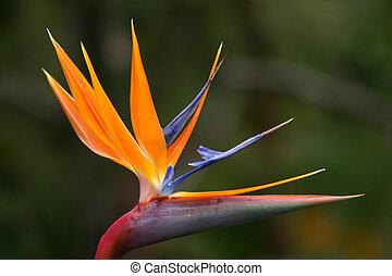 Bird of Paradise - Close-up view of a Bird of Paradise...
