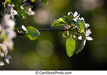 close-up view of a blossoming apple tree