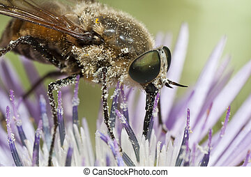 Bombylius major - Close up view of a Bombylius major fly...