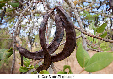 Close up view of a bunch of carob fruits hanging from the...
