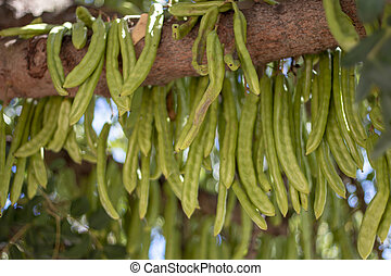 carob fruits hanging from the tree - Close up view of a...