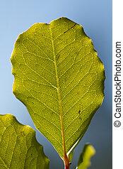 carob tree leaf