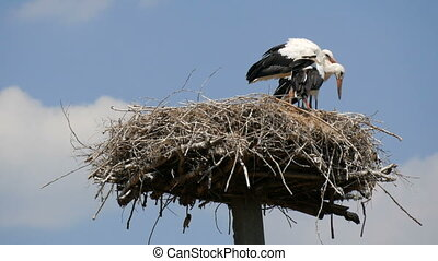 Close up view of a family of adult storks sitting in their nest at a height against the blue sky