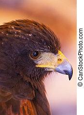 golden eagle (Aquila chrysaetos) - Close up view of a golden...