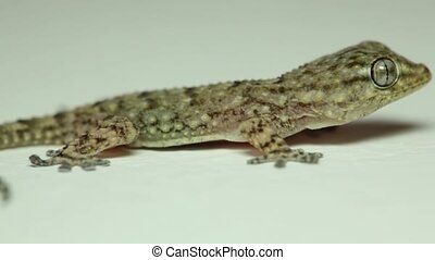 Close-up view of a lizard, it is sitting and breathing,...