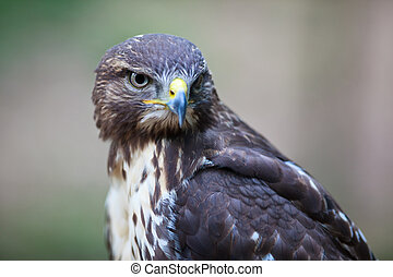 Close-up view of a majestic common buzzard