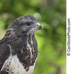Close-up view of a majestic common buzzard (Buteo buteo)Close-u