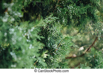 Close up view of a pine branch